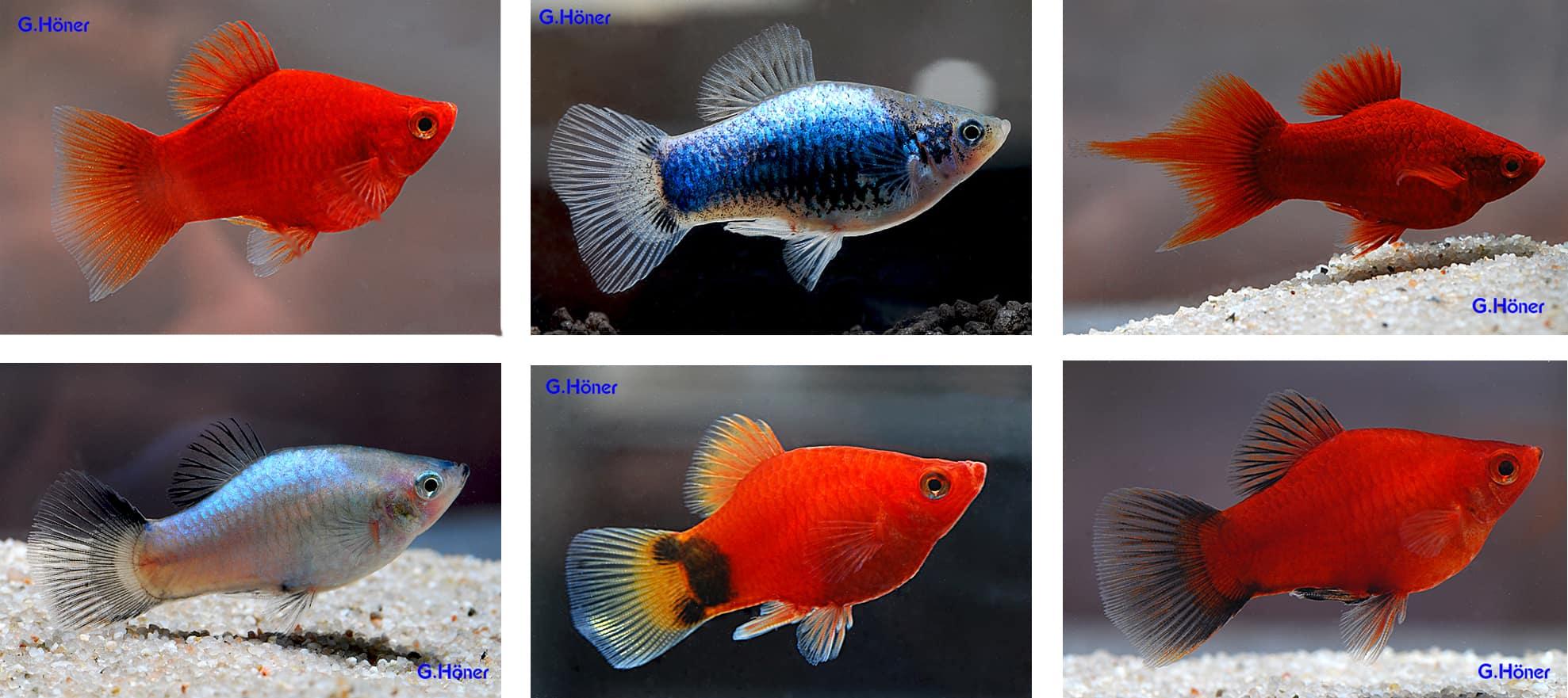 Korallenplaty in allen Farben 1