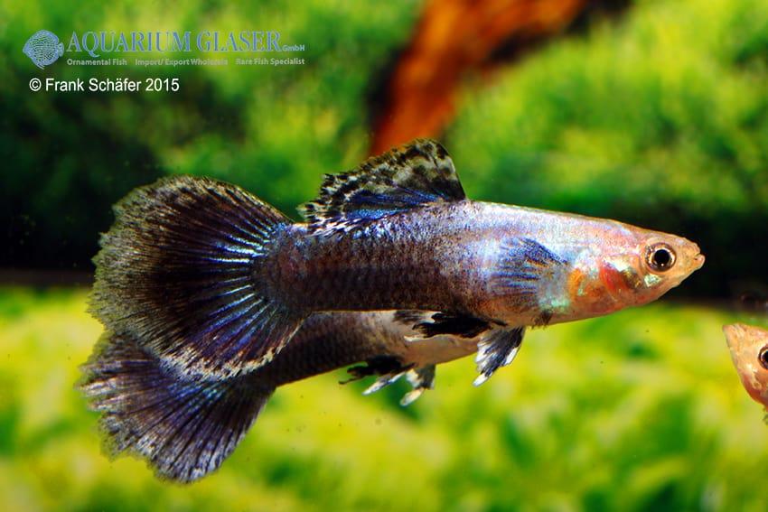 Poecilia reticulata - Guppy 48