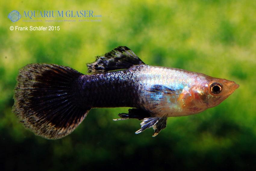 Poecilia reticulata - Guppy 49