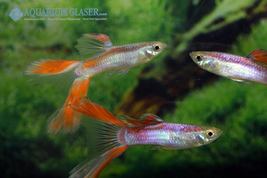 Poecilia reticulata - Guppy 30