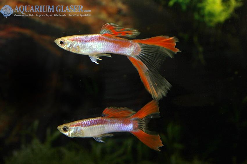 Doppelschwert - Quelle: Aquarium Glaser