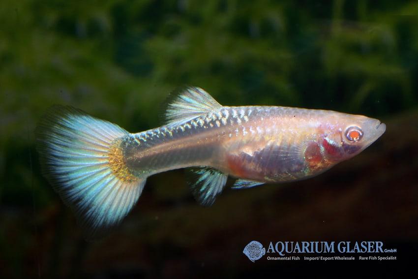 Poecilia reticulata - Guppy 35