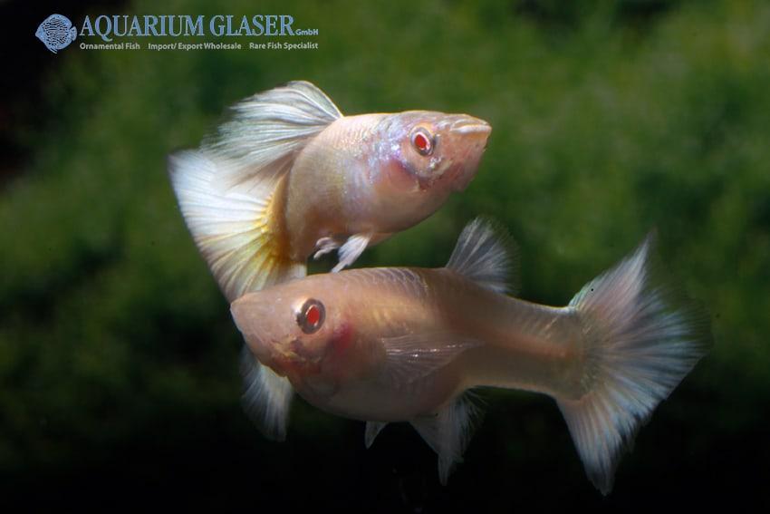 Poecilia reticulata - Guppy 37