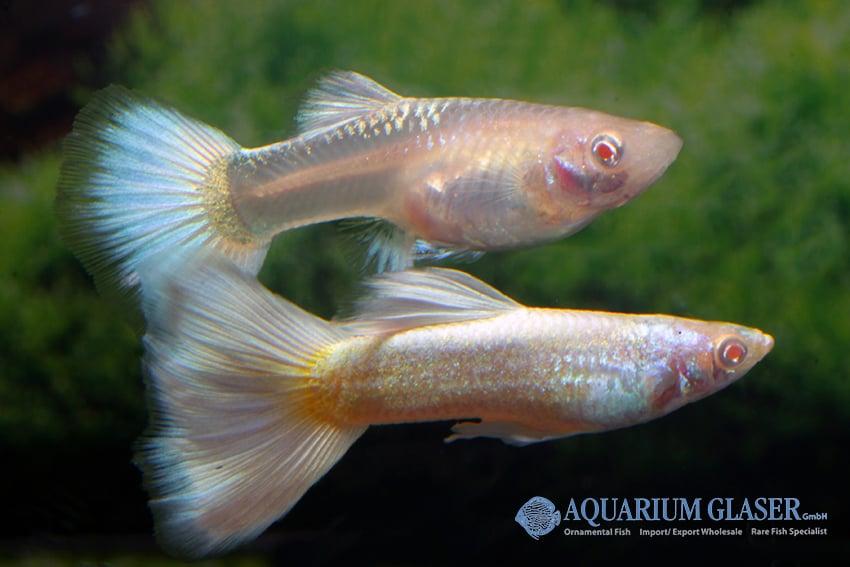 Poecilia reticulata - Guppy 38