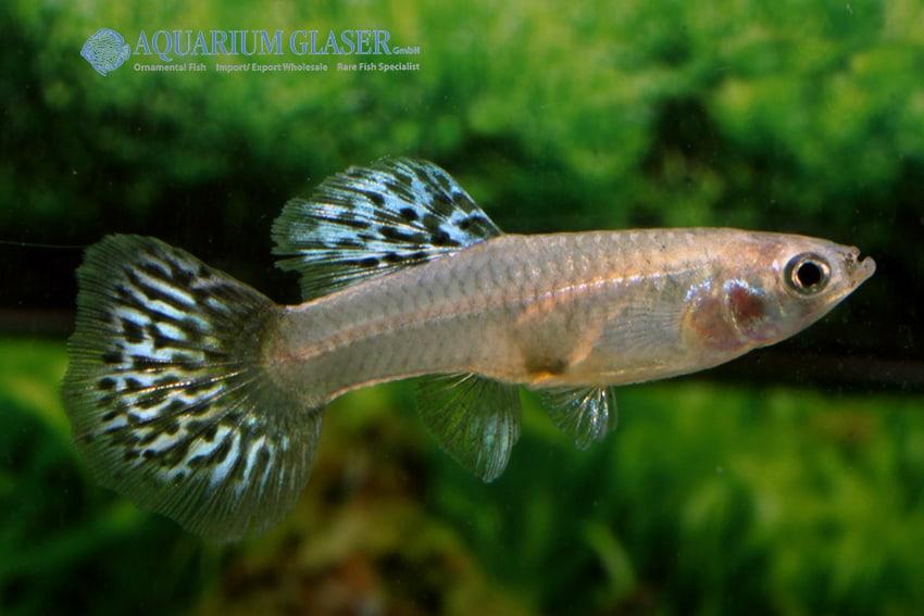 Poecilia reticulata - Guppy 39