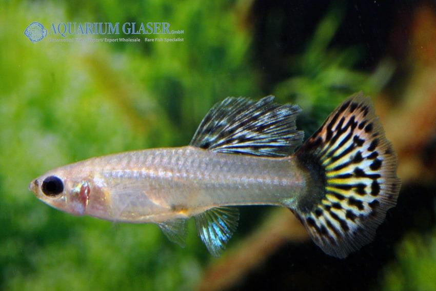 Poecilia reticulata - Guppy 40