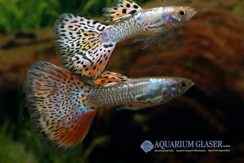 Poecilia reticulata - Guppy 42