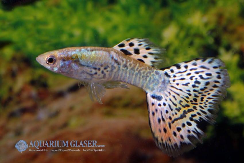 Poecilia reticulata - Guppy 44