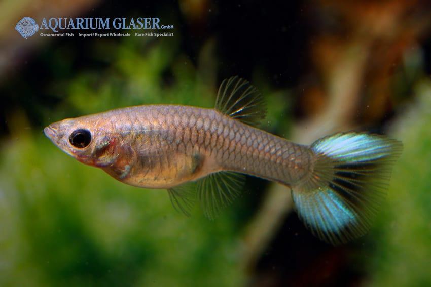 Poecilia reticulata - Guppy 46