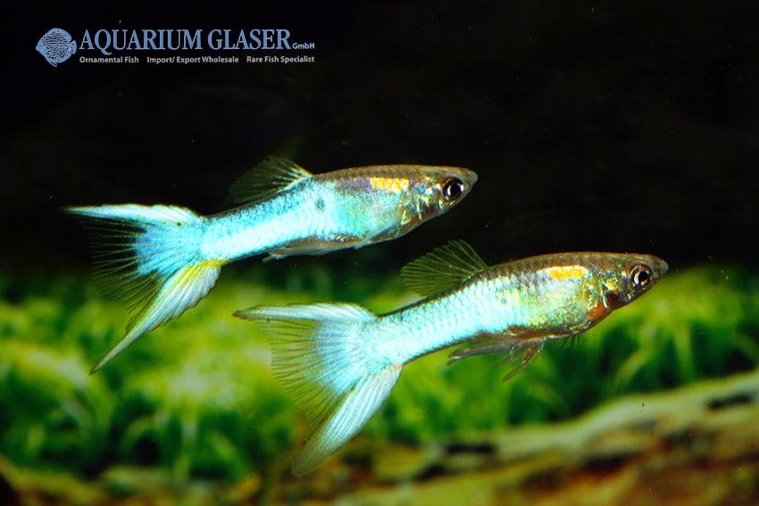 Poecilia reticulata - Guppy 47