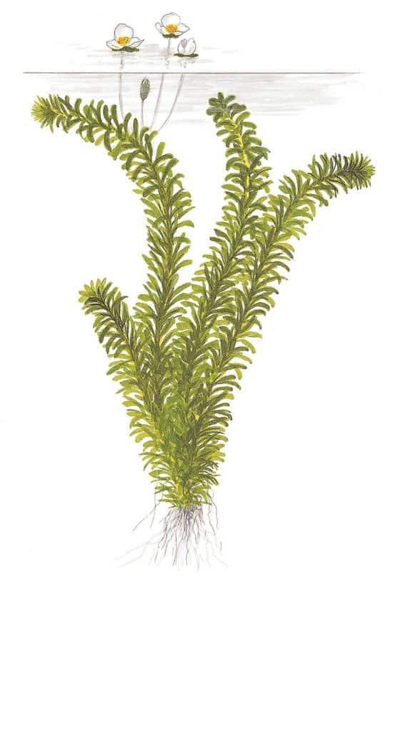 Egeria densa - Tropische Wasserpest 4