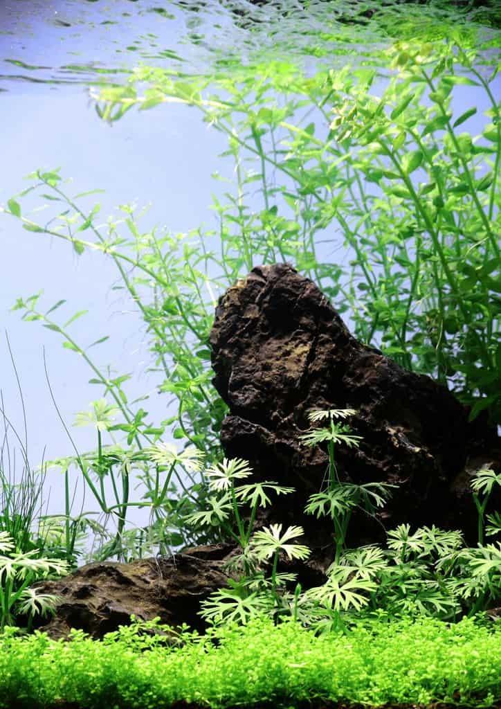 Micranthemum umbrosum - Perlenkraut 4