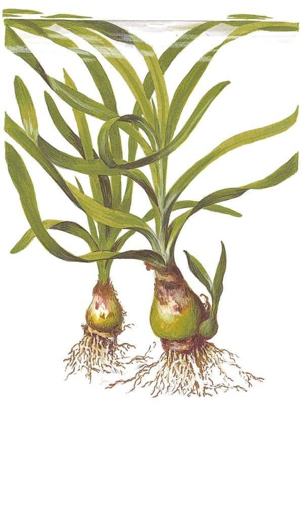 Crinum thaianum - Thailand-Wasserlilie 4