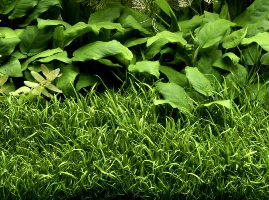 Quelle: Tropica Aquarium Plants
