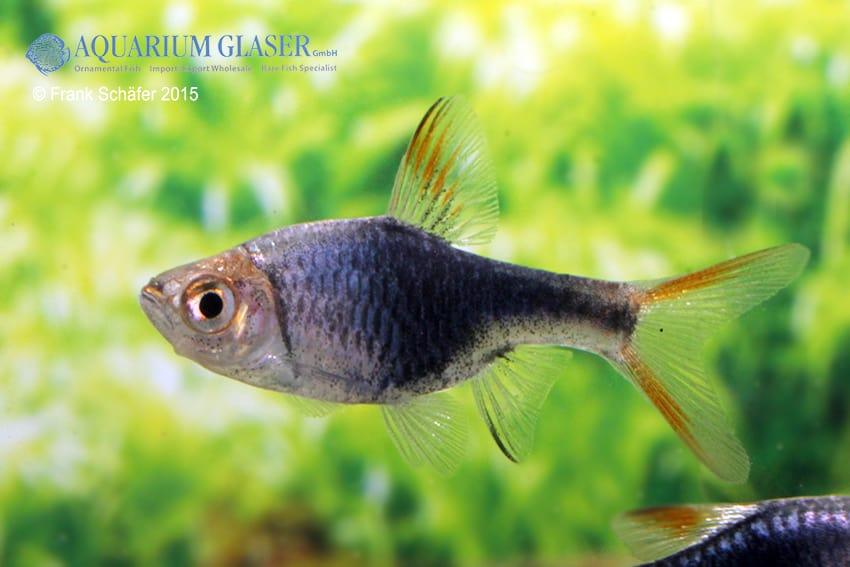 Trigonostigma (Rasbora) heteromorpha - Keilfleckbärbling 11