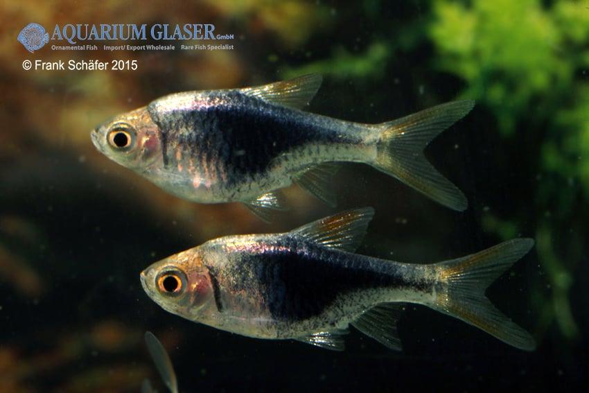 Trigonostigma (Rasbora) heteromorpha - Keilfleckbärbling 12