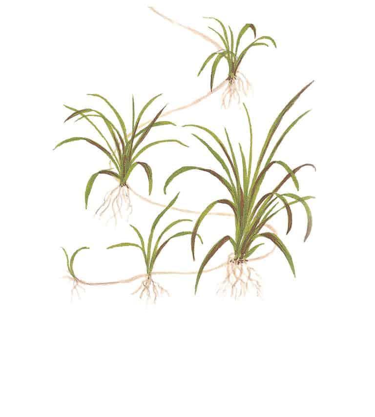 Echinodorus tenellus - Grasartige Zwergschwertpflanze 5