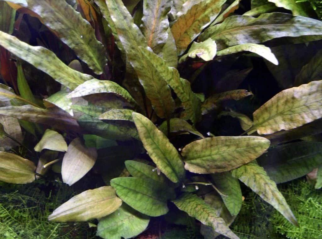 Cryptocoryne wendtii 'Tropica' - Braune Tropica-Wendtii 3