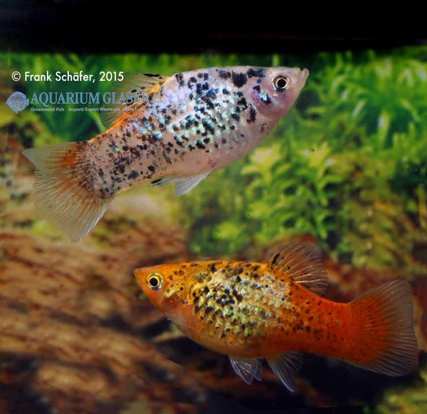 Xiphophorus maculatus - Platy 9