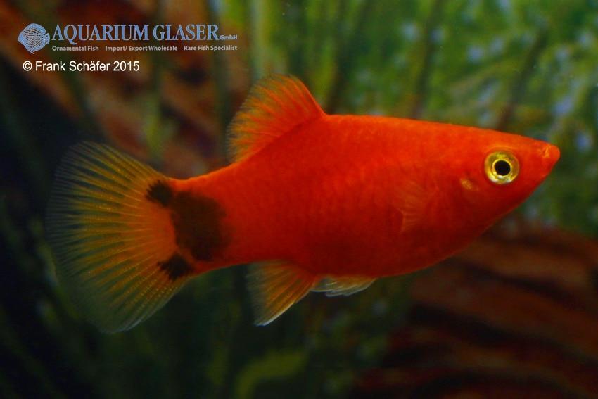 Xiphophorus maculatus - Platy 23