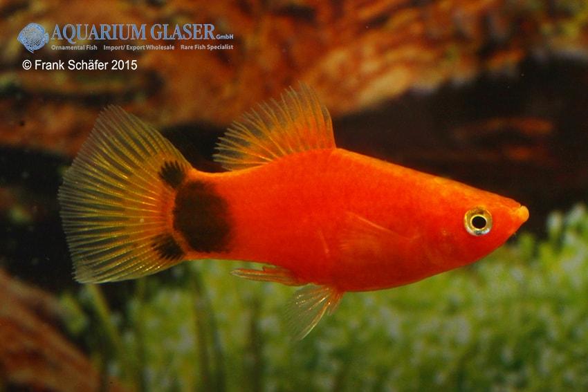 Xiphophorus maculatus - Platy 24