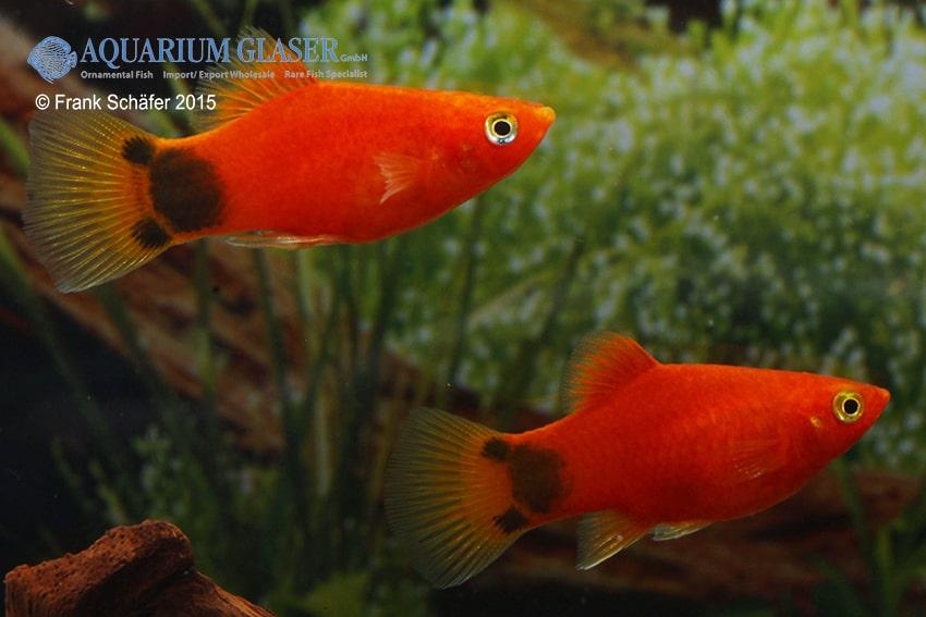 Xiphophorus maculatus - Platy 25
