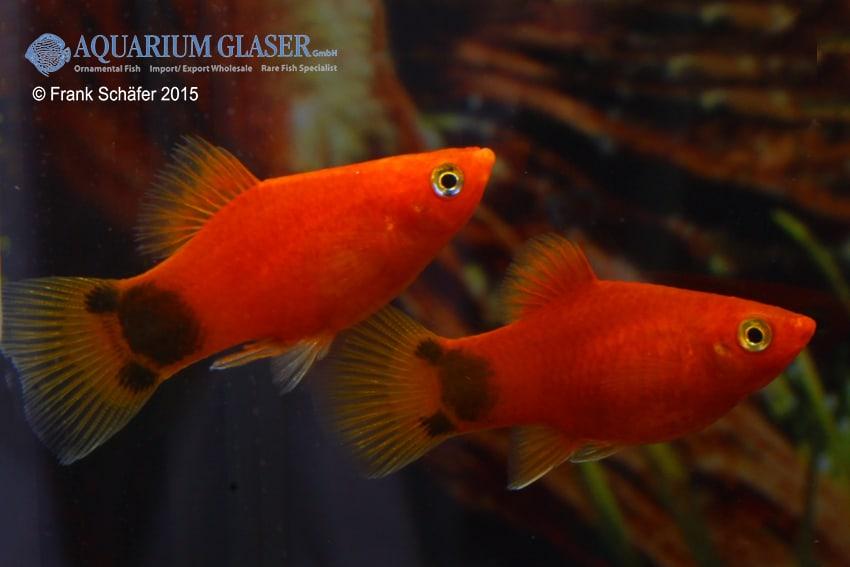 Xiphophorus maculatus - Platy 26