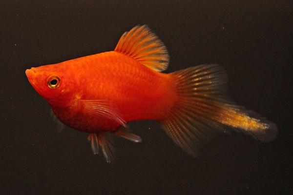 Xiphophorus maculatus - Platy 54