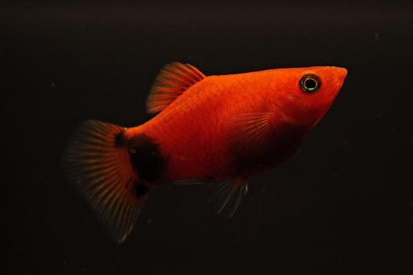 Xiphophorus maculatus - Platy 56