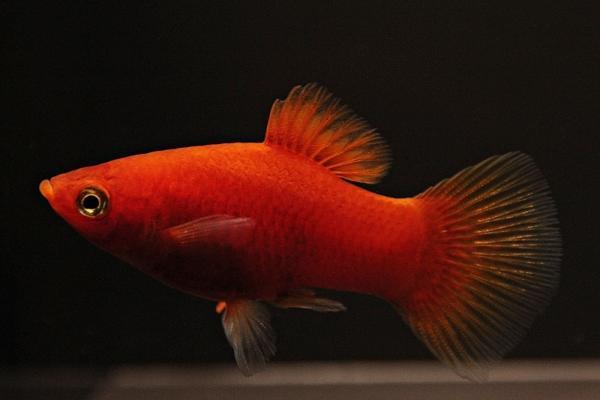 Xiphophorus maculatus - Platy 55