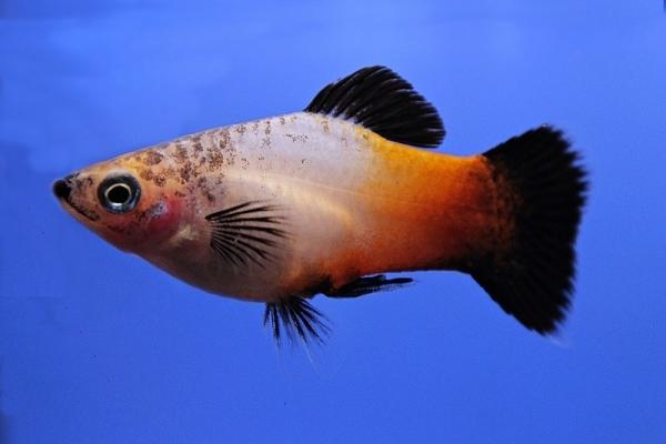 Xiphophorus maculatus - Platy 59