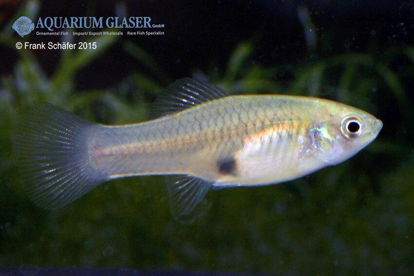 Xiphophorus maculatus - Platy 13