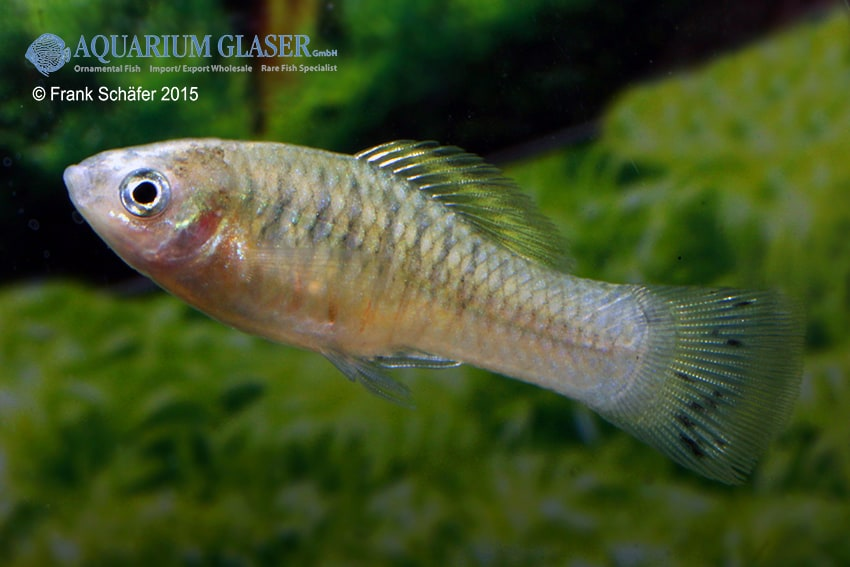 Xiphophorus maculatus - Platy 14