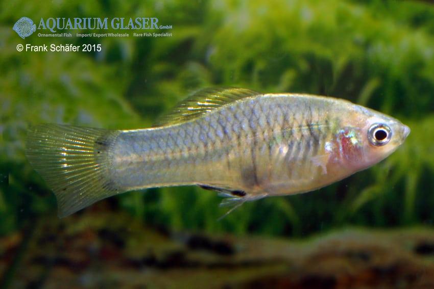 Xiphophorus maculatus - Platy 15