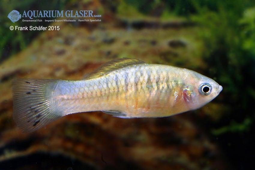 Xiphophorus maculatus - Platy 16