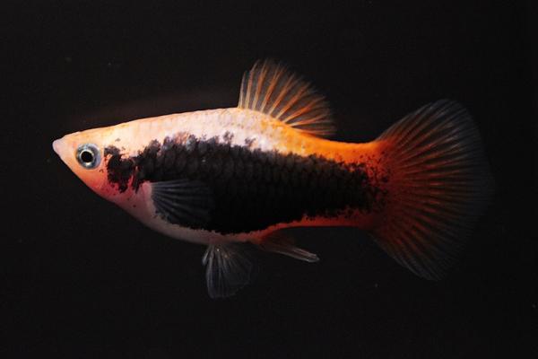 Xiphophorus maculatus - Platy 62