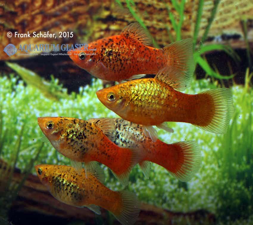 Xiphophorus maculatus - Platy 7