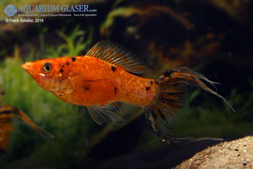 Poecilia velifera - Segelkärpfling 9