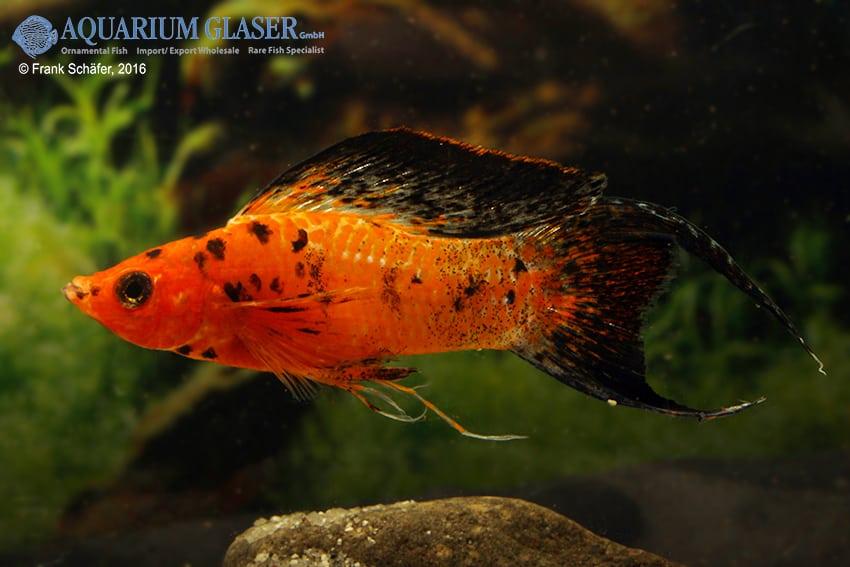Poecilia velifera - Segelkärpfling 12
