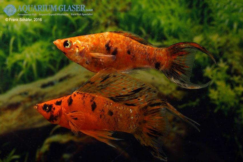 Poecilia velifera - Segelkärpfling 13