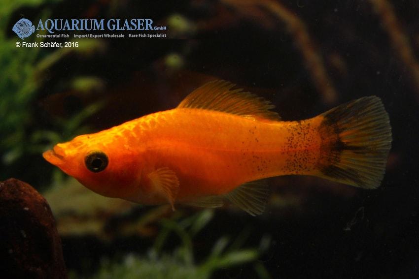 Poecilia velifera - Segelkärpfling 2