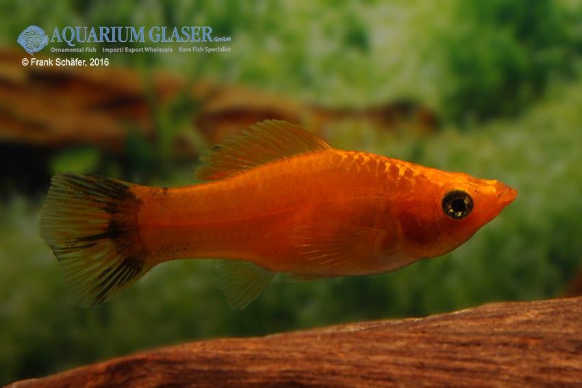 Poecilia velifera - Segelkärpfling 3