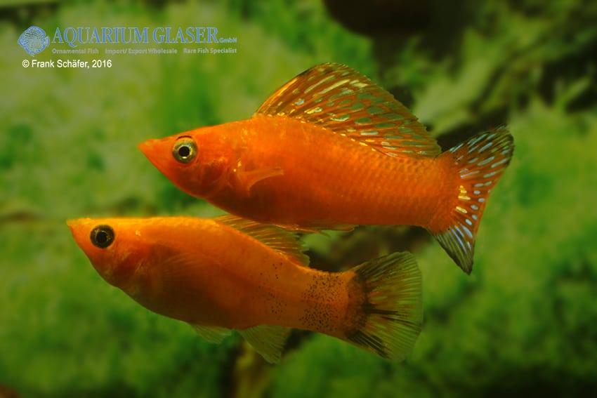 Poecilia velifera - Segelkärpfling 6