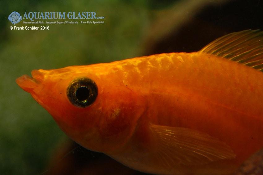 Poecilia velifera - Segelkärpfling 7