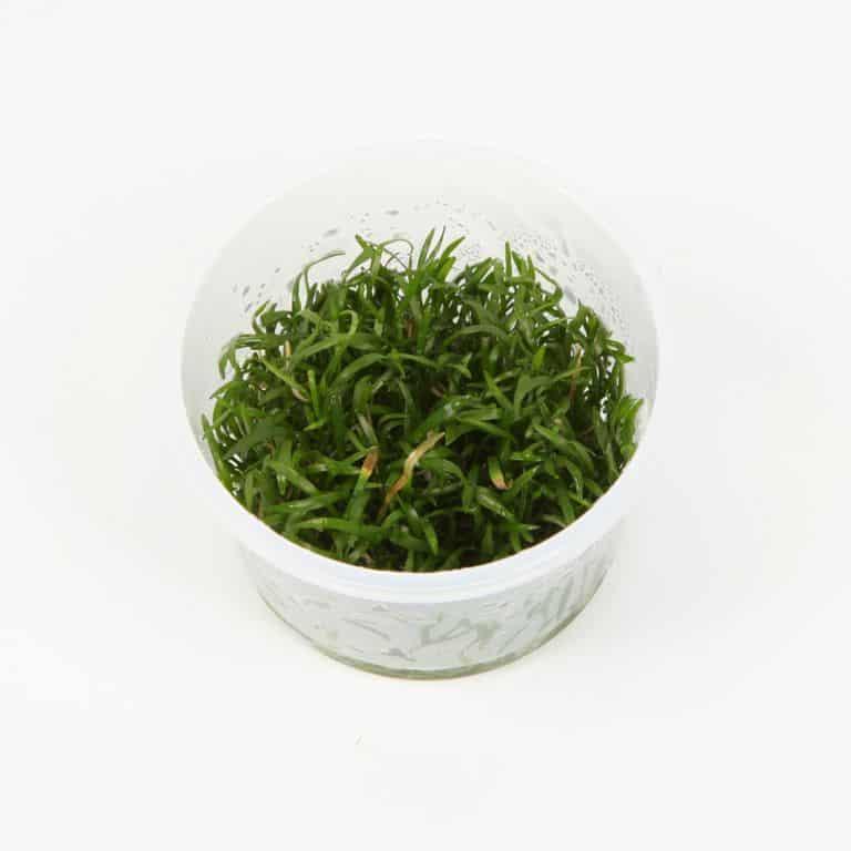 Lilaeopsis brasiliensis - Graspflanze 4