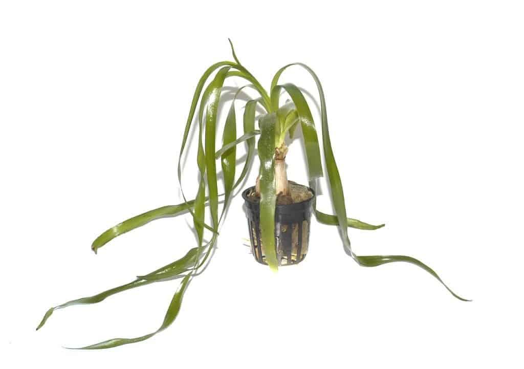 Crinum thaianum - Thailand-Wasserlilie 5