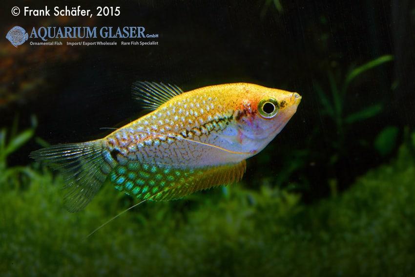 Trichogaster leeri - Mosaikfadenfisch 5