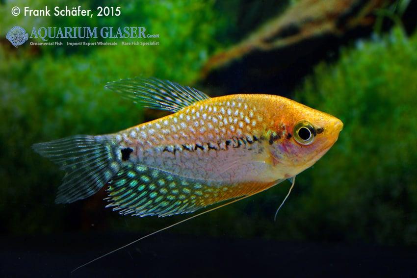 Trichogaster leeri - Mosaikfadenfisch 6