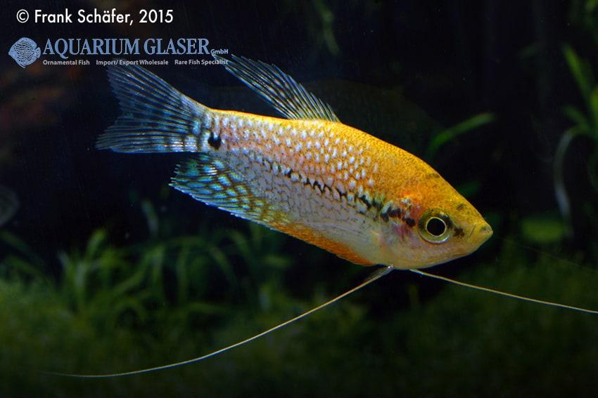 Trichogaster leeri - Mosaikfadenfisch 7