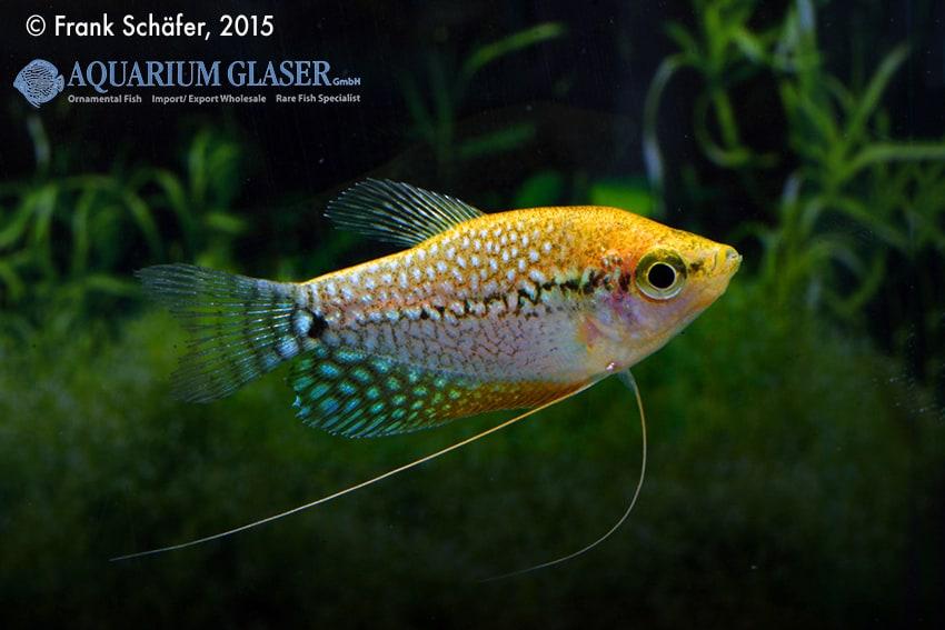 Trichogaster leeri - Mosaikfadenfisch 8